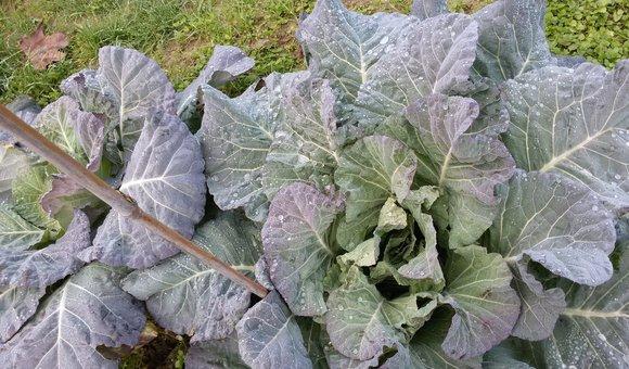 broccolo padovano