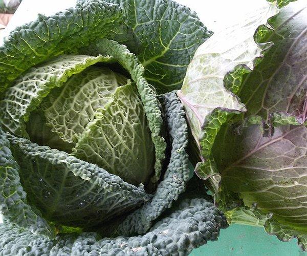 La verza contiene vitamina A, essenziale per il buon funzionamento della vista e per mantenere sana la pelle; vitamina C, fondamentale per il sistema immunitario e vitamina K, molto importante per la coagulazione del sangue.
