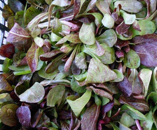 varietà di cicoria, stagione inverno