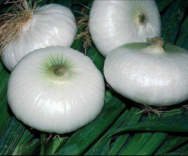 La cipolla (Allium cepa) è un bulbo della famiglia delle liliaceae.