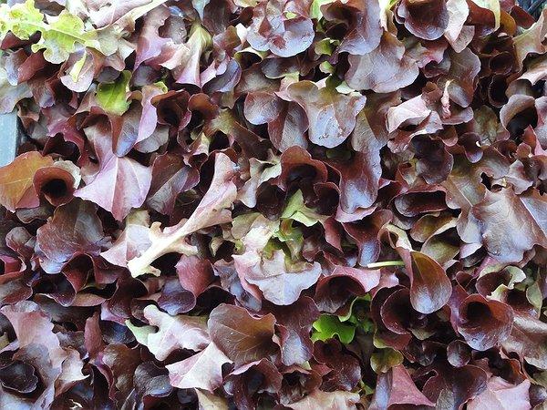 Prodotto biologico lattughino da taglio rosso cares for Insalata da taglio