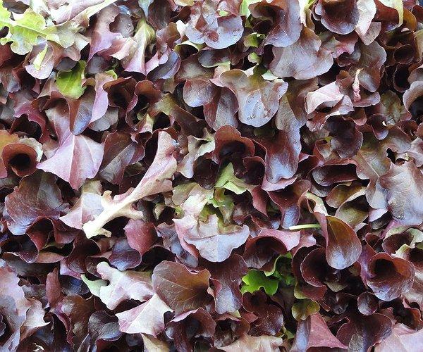 una varietà di lattuga da taglio, con foglie a forma rotondeggiante, a margine arricciato , di colore verde-rosso.