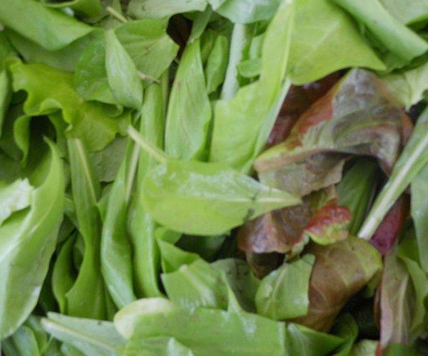 Mix di essenze di cicorie (radicchi) morbide e zuccherine e composite (lattughe)