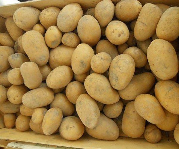 Patate a pasta gialla, dalla polpa compatta, derivano il loro colore dalla presenza di caroteni. Sono impiegate per le patatine fritte industriali e casalinghe, ma sono adatte anche per le insalate e le cotture in forno.