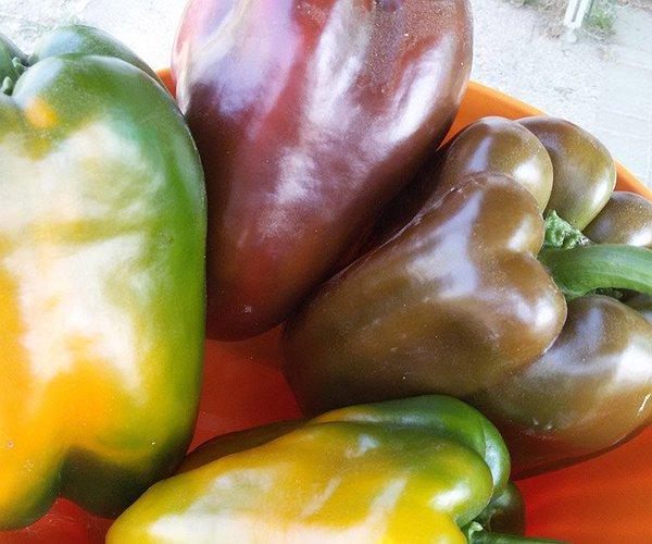 Noi di Caresà coltiviamo la varietà a  quadrato sia rosso che giallo, sia in serra che a pieno campo.