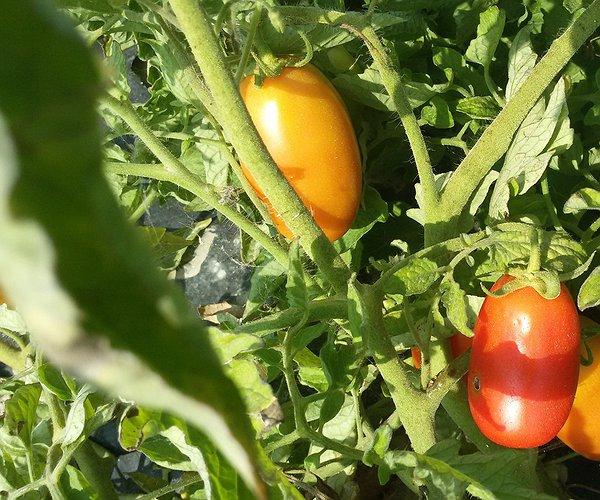 Pomodori peretto da salsa