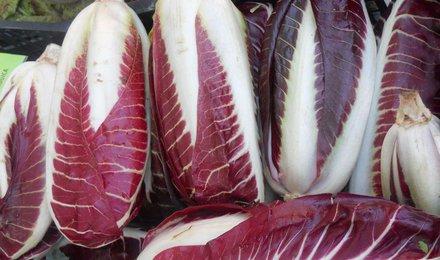 radicchio lungo rosso precoce (Treviso precoce)