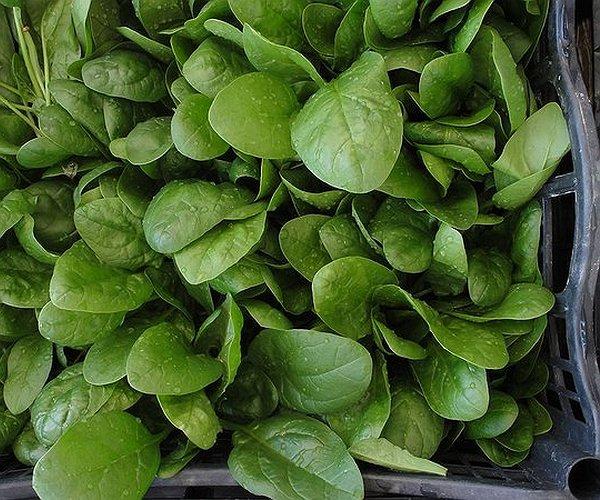 Gli spinaci (Spinacia oleracea) è una pianta erbacea della famiglia delle Chenopodiaceae.