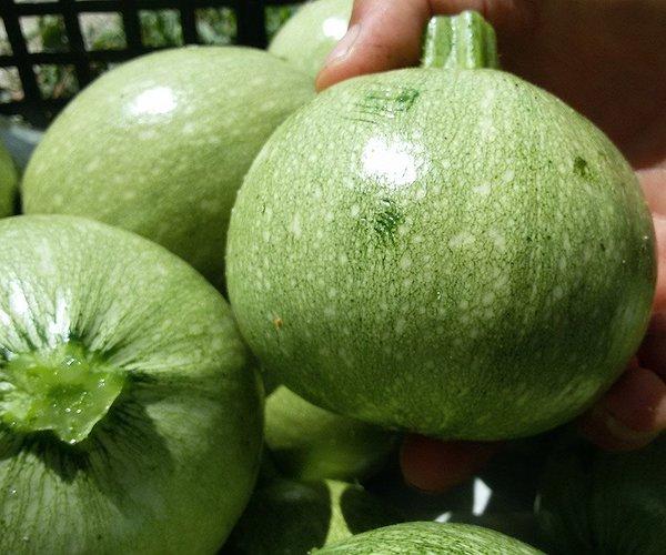 Le zucchine tonde, meno comuni di quelle allungate, sembrano fatte apposta per essere farcite
