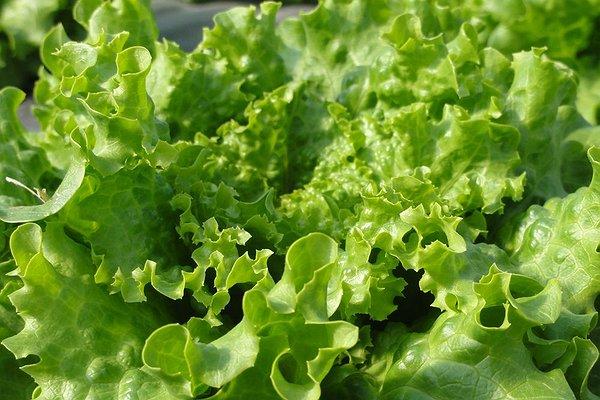 Le nostre serre a marzo: l'insalata
