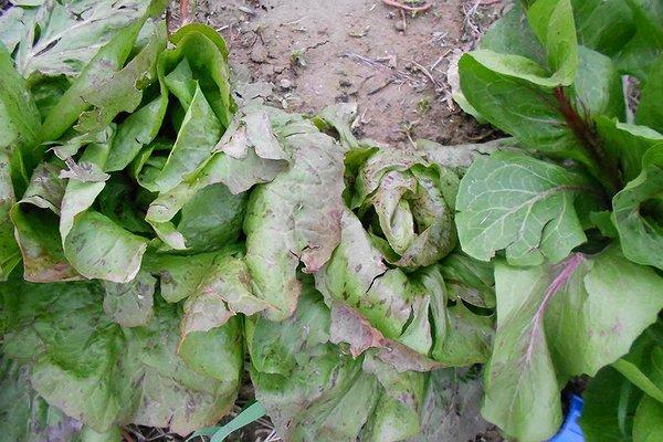 Lunedì di pioggia, vento e grandine: le piante rovinate dalla grandine