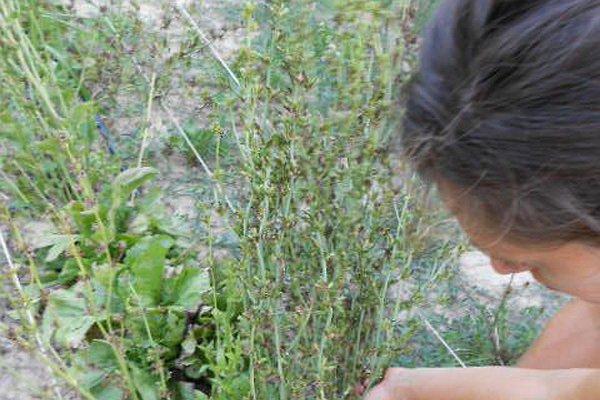 Le fasi della nostra selezione del seme di radicchio variegato a rosa