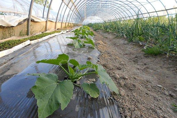 zucchine in serra trapiantate in Marzo 2014