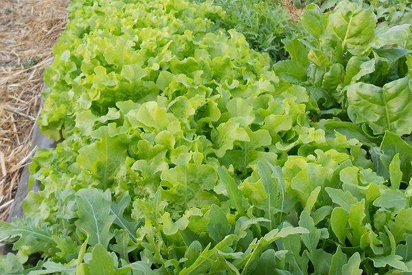 lattughino verde