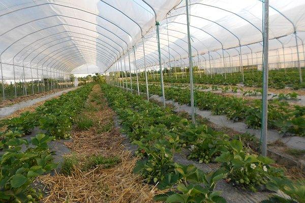 le fragole trapiantate ad Agosto 2013 pronte per la raccolta di primavera 2014