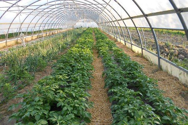 patata precoce seminata in Febbraio 2014