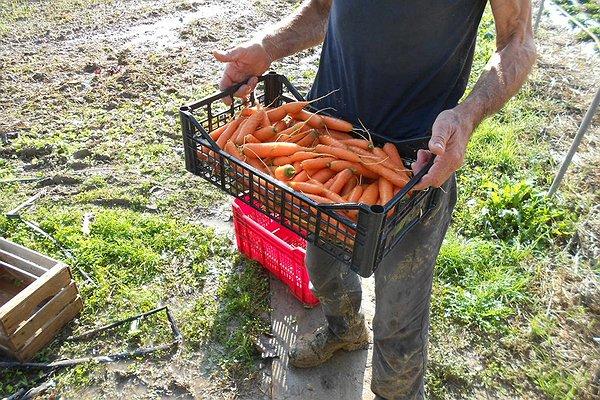 Raccolta carote Caresà