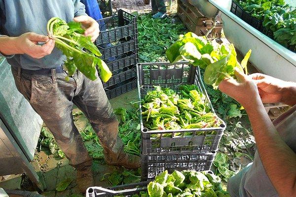 Preparazione spinaci