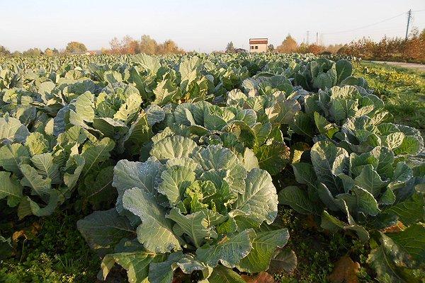 Broccolo padovano prove varietali