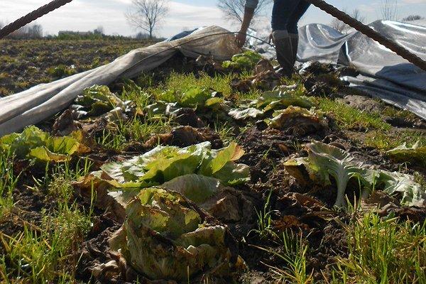 Metodo dell'imbiancamento in campo che si pratica stendendo un tessuto non tessuto sulle piante e ricoprendolo da un film plastico nero sorretto da archetti.