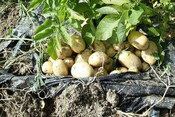 Oggi pomeriggio provvederemo a strappare la parte fogliaria aerea delle patate. Una volta scostato il nylon con la forca assolcheremo il terreno per far uscire le pappate novelle - 15 giugno 2015