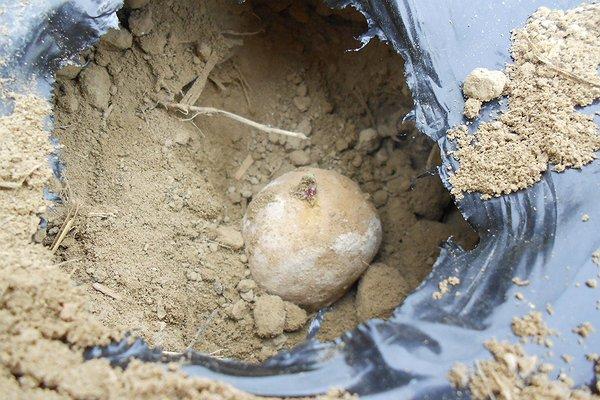Trapiantiamo in serra le patate Marabel pre-germinata - 26 marzo 2015