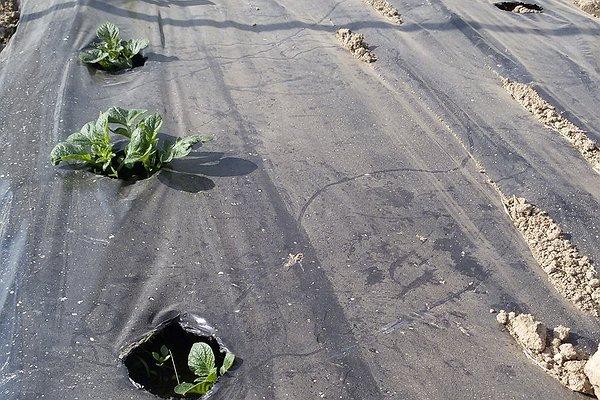 Patate che germogliano in campo dopo il trapianto in serra