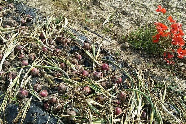 Raccolta dell'impianto tardo autunnale 2014 di cipolle