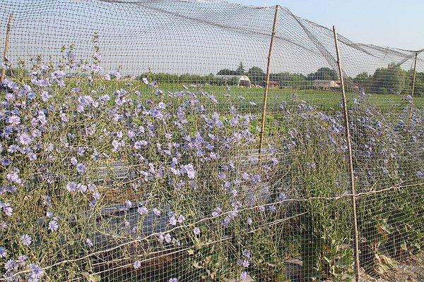 Fioritura il radicchio tardivo di Castelfranco - 15 giugno 2015
