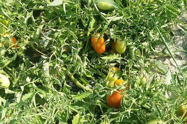Pomodori da salsa - 20 luglio