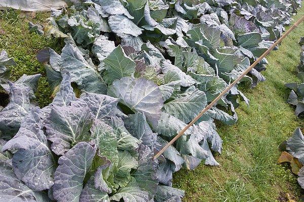 Broccolo padovano: selezione del seme dalle piante madri