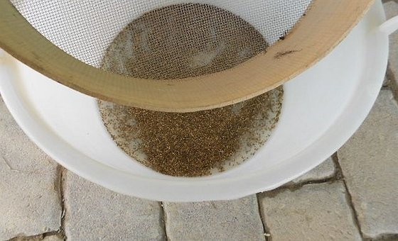 Le fasi della nostra selezione del seme di radicchio variegato a rosa  (Castelfranco)