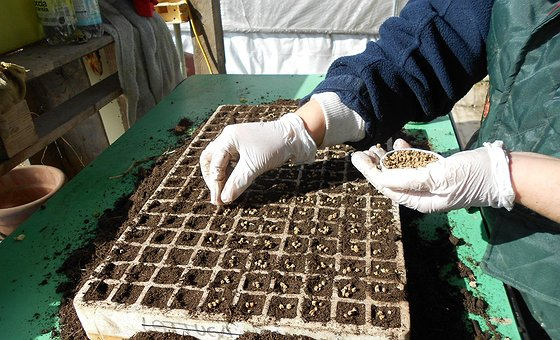 Semina e trapianto bietolina da taglio
