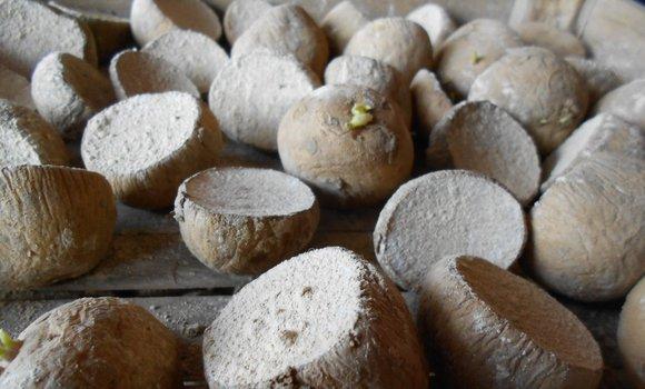 Esempio della tecnica della pregerminazione delle patate