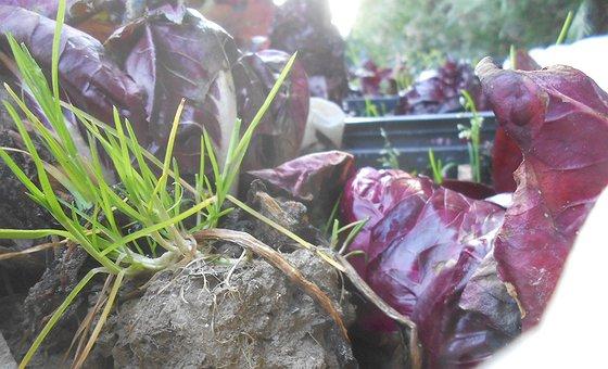 Piante madri Broccolo padovano - Radicchio rosso veronese