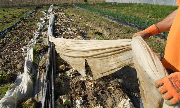 Terminato l'imbiancamento del Radicchio variegato a rosa (Castelfranco).