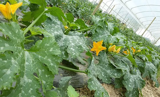 Le nostre zucchine in serra crescono