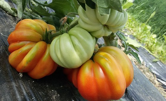 Produzione 2016 del pomodoro costoluto e del cuore di bue Caresà