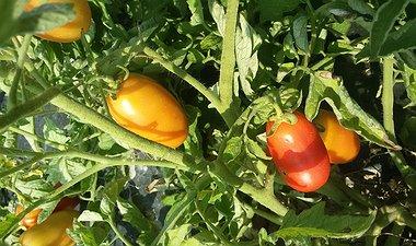 Aperti gli ordini per i pomodori da salsa